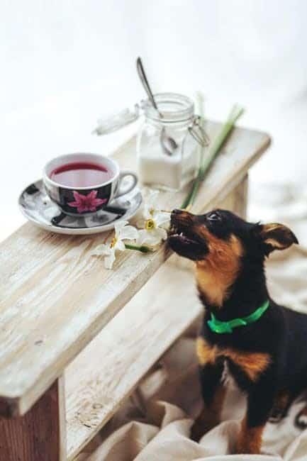 poinsettias and mistletoe danger for dogs
