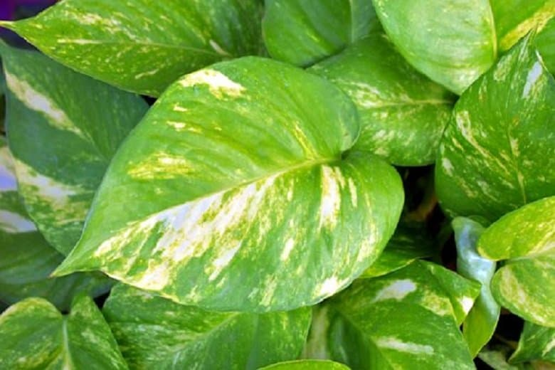 Devil's Ivy for how to purify the air in your home